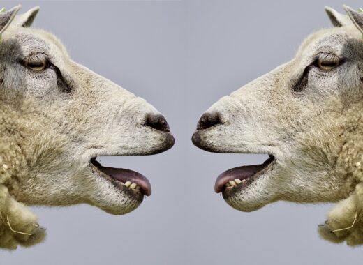 Zwei Schafe schauen sich gegenseitig an
